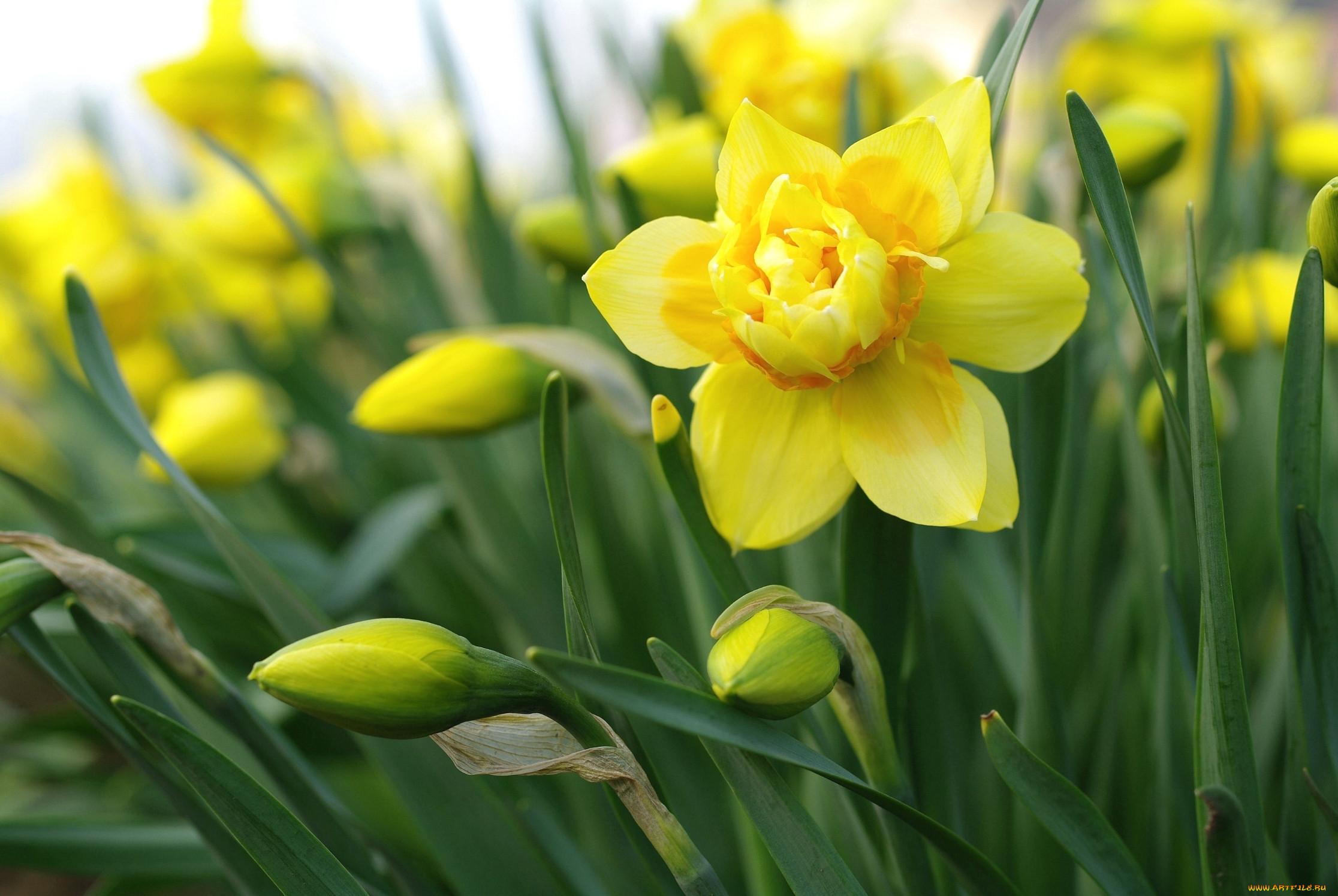 делается так картинки весенние цветы нарциссы продержался два года